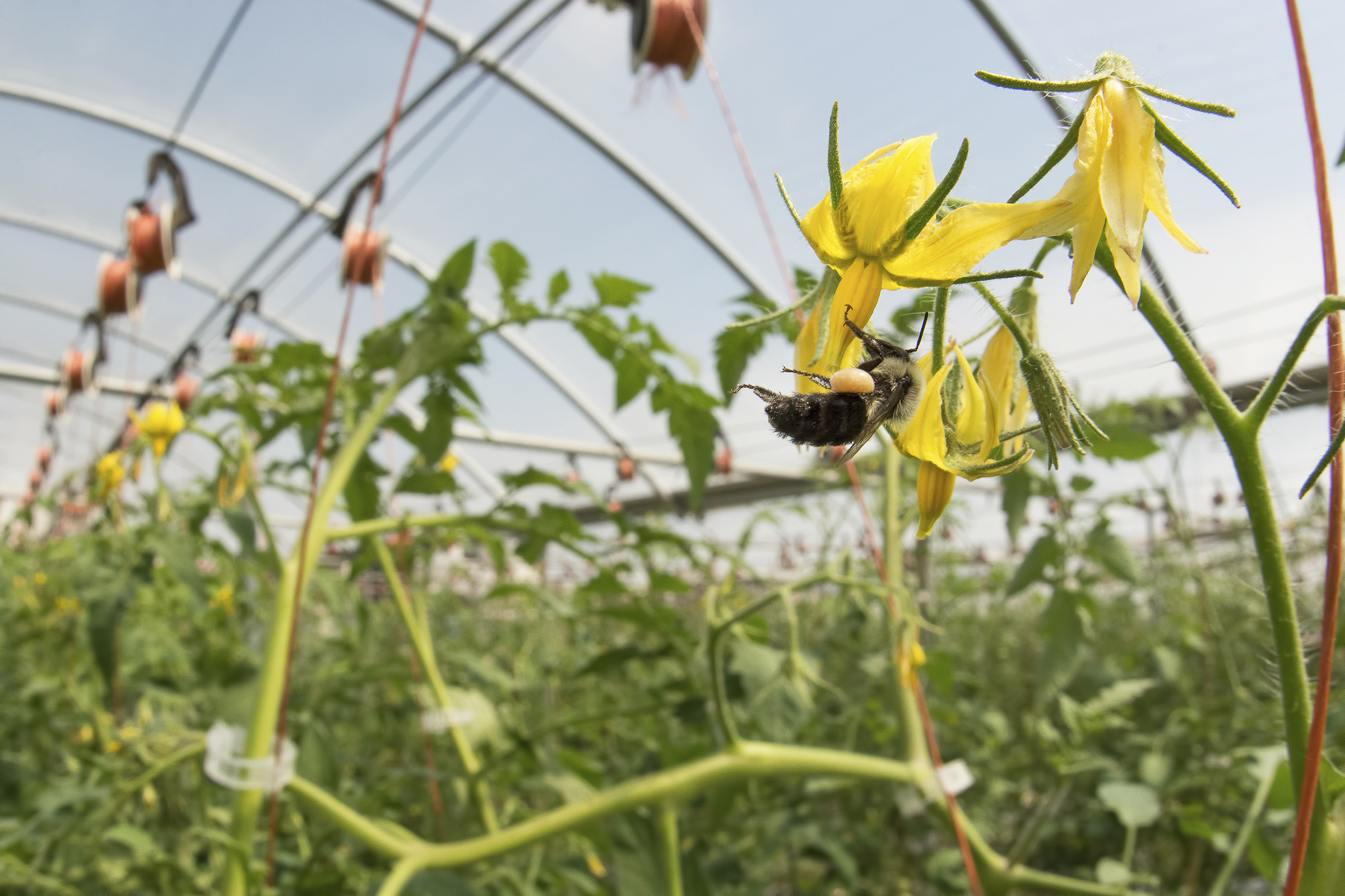 A bumble bee visiting a greenhouse tomato. (c) Clay Bolt