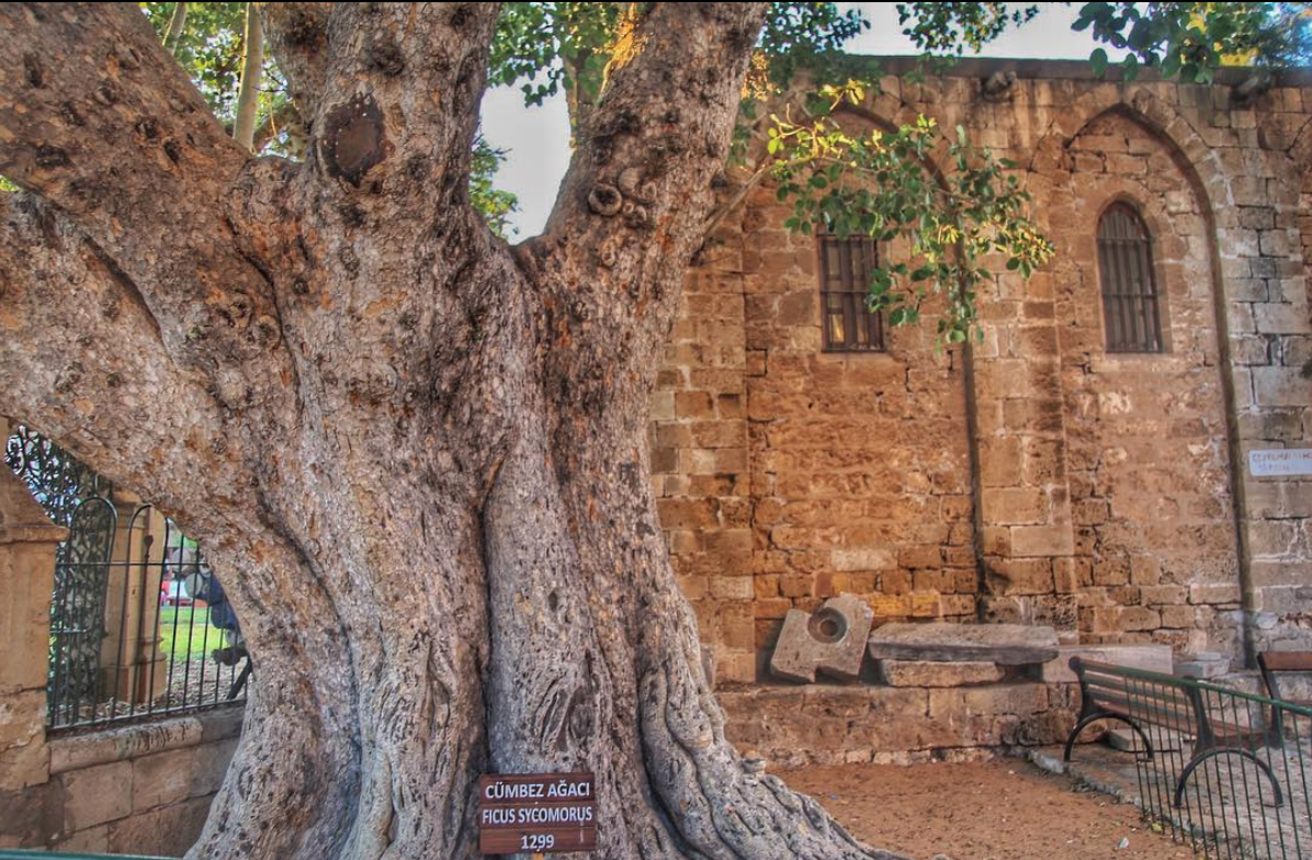 An ancient fig tree, planted in 1299 A.D.