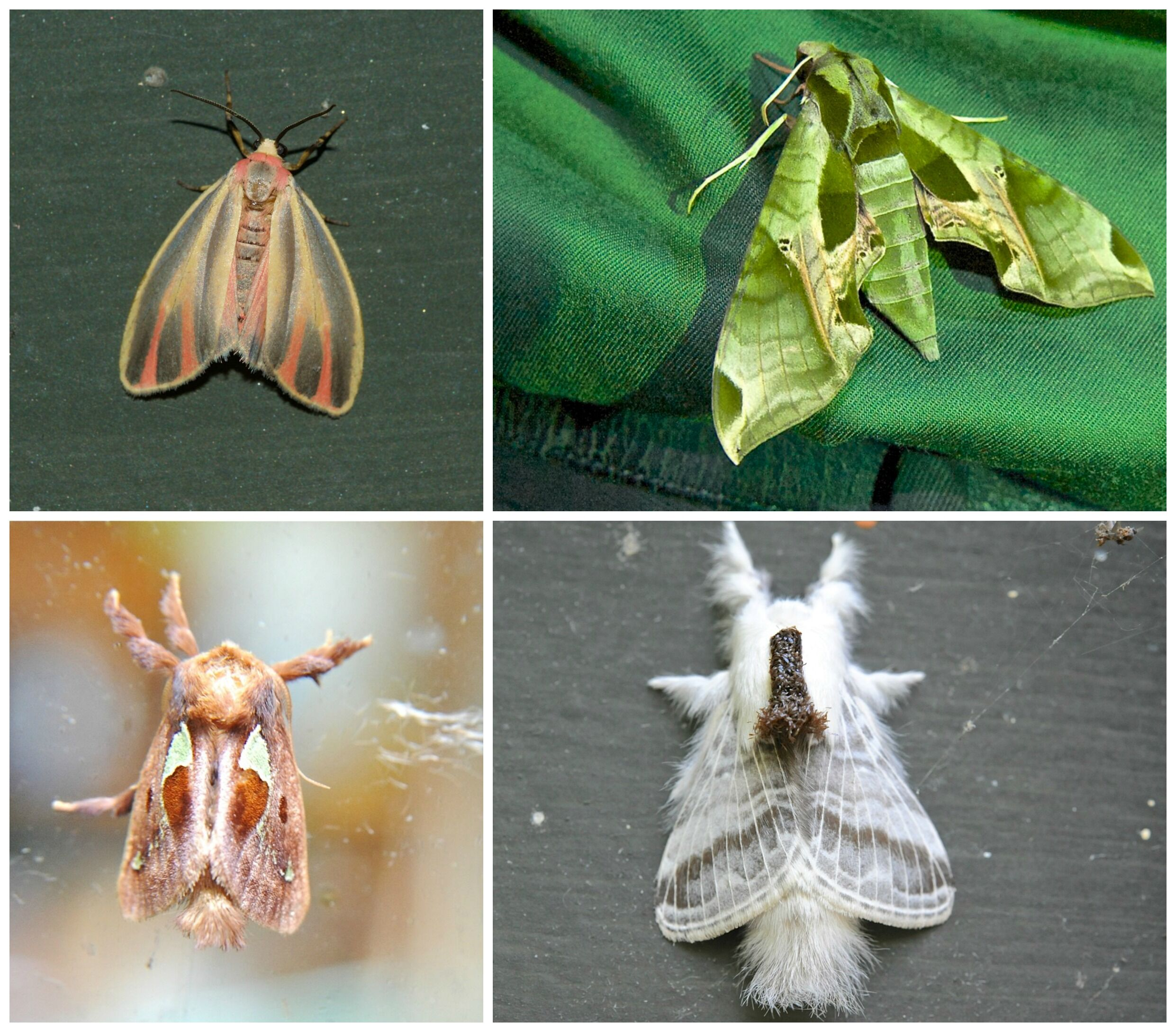 Clockwise from top left: Painted Lichen, Pandorus Sphinx (on a friend's shirt at Moth Night), Tolype, and Spiny Oak Slug moths are just 4 of the nearly 200 I've photographed so far in the garden.